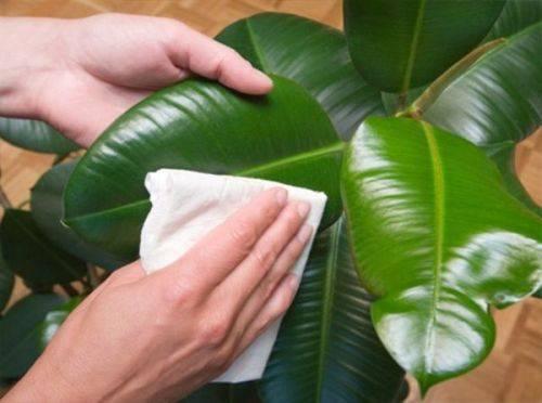 Комнатные цветы фикусы: как за ними ухаживать