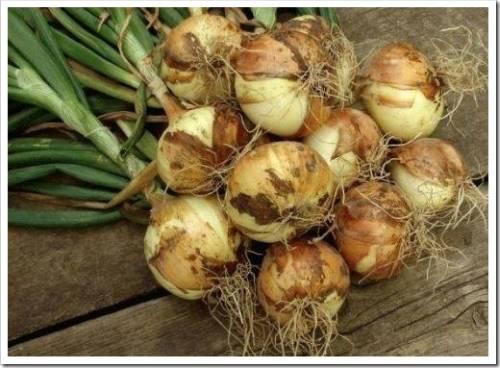 Агротехника выращивания озимого лука