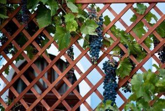 Как сделать опору для винограда